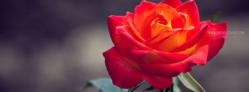 Soft Blue Rose Flowers Facebook Cover
